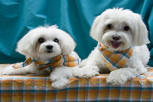 dois maltipoo com lenços lado a lado