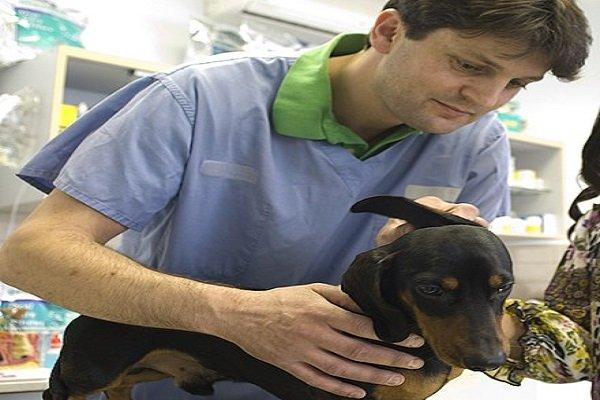 procurando por doenças em cães