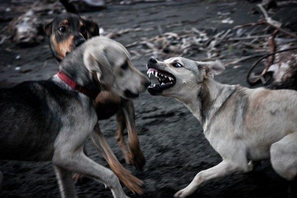 Cachorro com raiva no meio de outros caes
