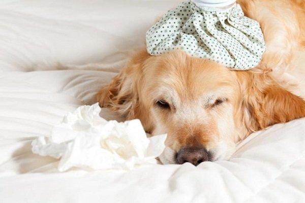 Cachorro doente cansado em repouso na cama