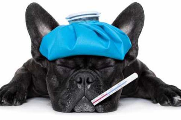 Cao com termometro e bolsa quente de gripe