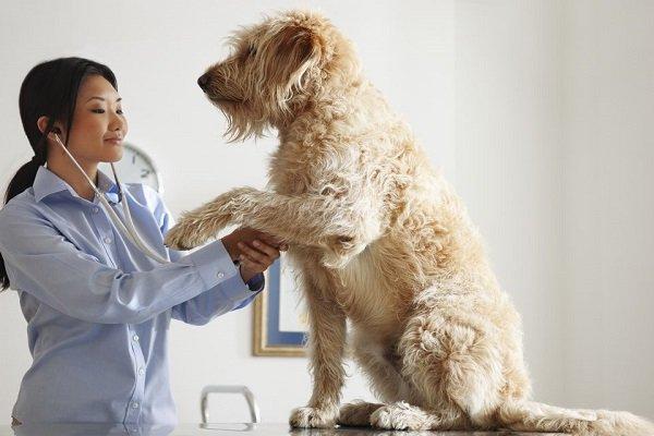 veterinario identificando doença hepatica em cachorro