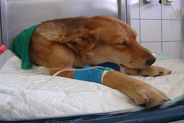 checando sintomas de hepatite em cães