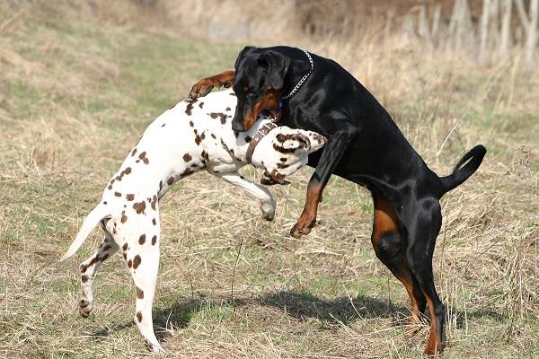 dog preto mordendo um branco no campo aberto