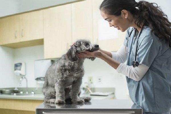 veterinária buscando por carrapatos em cão