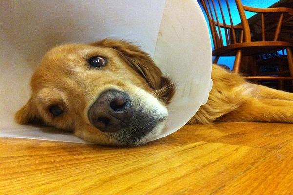 cachorro com cone como tratar coceira de ouvido