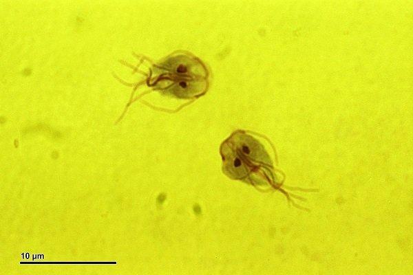imagem de giardia canina vista em microscopio