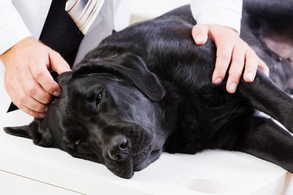 cachorros sofrendo dores e tremores na perna